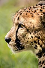 Profile of a Cheetah 3-0 F LR 5-6-18 J185 (sunspotimages) Tags: animal animals wildlife nature cat cats bigcats bigcat cheetahs cheetah zoos zoosofnorthamerica zoo nationalzoo fonz fonz2018
