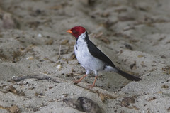 Yellow billed Cardinal Hawaii (Klaus Ficker --Landscape and Nature Photographer--) Tags: yellowbilledcardinal hawaii bird beach kentuckyphotography klausficker canon eos5dmarkiv usa