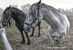 2 Horses & Groninger Landschap,Groningen  ,the Netherlands,Europe (Aheroy) Tags: paarden horses pferde caballos cheveaux heads hoofden rural platteland weide meadow aheroy aheroyal dieren groningen drenthe campo campagne rasta vlechtjes paardenhoofden