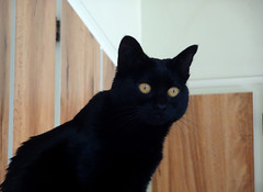I See You (knightbefore_99) Tags: cat chat gato black noir cute sweet love girl feline furry trouble eyes gold see stare curious