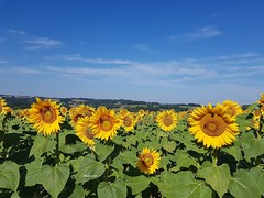 Les tournesols (Marvinette) Tags: ciel campagne field sky blue bluesky yellow jaune flore fleur fleurs flower flowers france limousin hautevienne champ nuages aimezvouslesfleurs androïd smartphone nature tournesol sunflower august summer été extérieur outdoor groupenuagesetciel