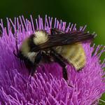 Golden Northern Bumble Bee thumbnail