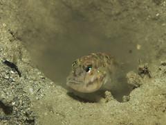 Vanderhorstia ambanoro (PacificKlaus) Tags: goby gobiidae perciformes fish macro bolinao pangasinan philippines underwater ocean nature animal universityofthephilippines marinescienceinstitute marinelab underwaterphotography