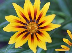 Golden Sun (ryry602) Tags: flower yellow golden gold green sedona az arizona church decoration macro sunflower bright