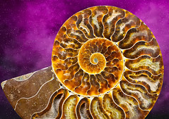 Ammonite Fossil (Mimi Ditchie) Tags: shell fossil ammonite ammonitefossil spiral texture indexfossil septa extinct mollusca getty gettyimages mimiditchie mimiditchiephotography