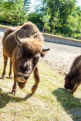 DSC_0090 (OCReactive) Tags: warsaw warsawa polonia ocreactive bison bonasus bisonte europeo varsovia