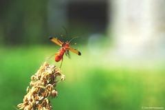 Red Insect (Clém VDB (TIOGRIS)) Tags: insect nature macro composition