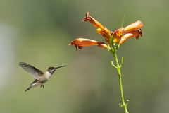 Black-chinned Hummingbird (2176) (Bob Walker (NM)) Tags: bird flying flowers hummingbird bchu archilochusalexandri blackchinnedhummingbird trumpetvine losalamos newmexico usa