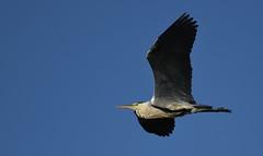 Grey Heron_1902 (marsh and moor) Tags: nikon d850 nature wildlife bird heron oaremarshes