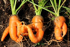 THREE IN A ROW ||  DRIE OP EEN RIJ (Anne-Miek Bibbe) Tags: wortelen penen carrots moestuin vegetablegarden giardinodiverdure jardinpotager gemüsegarten horta tuin garden jardin giardino jardim natuur nature karotten carottes carote zanahorias cenouras oranje arancione larnaja orange canoneos700d canoneosrebelt5idslr annemiekbibbe bibbe nederland 2018