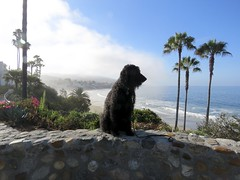 Benni in the Morning (Bennilover) Tags: lagunabeach labradoodle benni posing camerahog photobombing morning misty cool
