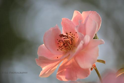 Rose in the morning sun