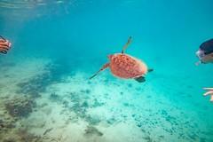 Heron Island Turtle-3 (Quick Shot Photos) Tags: aquatechimagingsolutions canon canoncollective heronisland padi queensland scuba underwater snorkel bogie australia au