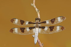 Gracieuse / Twelve-spotted Skimmer (alainmaire71) Tags: insecte insect odonata odonate libellule dragonfly libellulidae libellulapulchella lagracieuse twelvespottedskimmer nature quebec canada
