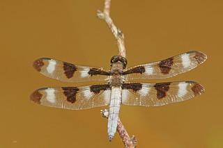 Gracieuse / Twelve-spotted Skimmer