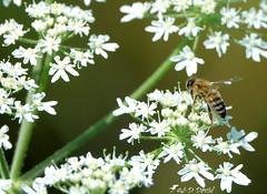 Abeille sur sa Reine des près ! 3 (Jean-Daniel David) Tags: insecte insectevolant abeille fleur reinedesprés vert verdure tige bokeh nature réservenaturelle yverdonlesbains suisseromande suisse vaud closeup grosplan blanc