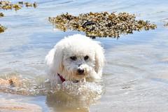 Je sais nager ! I can swim ! (Annelise LE BIAN) Tags: bréhat ile bretagne france naïs chien bichonfrisé alittlebeauty coth coth5 damn sunshine