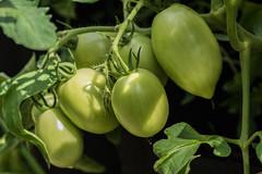 Plum tomatoes (hickamorehackamore) Tags: annesgarden ct colchester garden tomatoes
