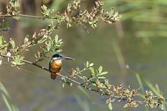 IMGP6587c Kingfisher, Woodwalton Fen, July 2018 (bobchappell55) Tags: woodwaltonfen nature wild wildlife cambridgeshire bird kingfisher alcedoatthis