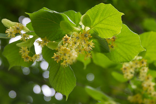 Tilia platyphyllos (Tiliaceae)