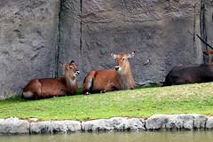 IMG_0754 (Bob_lewerissa) Tags: wildlands emmen zoo canon 80d 70200 l nonis usm