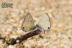 The Common Lineblue - ผีเสื้อฟ้าขีดหกโนรา (Antonio Giudici Butterfly Trips) Tags: betong yala