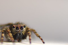 Sneaky Jumpy! (Nathan J Hammonds) Tags: jumpy jumping spider macro depth field tiny boo composition fury eyes nikon d750