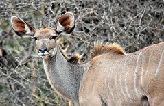 The Kudu stare. (pstone646) Tags: antelope nature kudu wildlife animal africa safari mammal southafrica fauna