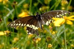 """Handicap Black Swallowtail Butterfly Shows """"True Grit"""" (Joseph Hollick) Tags: butterfly urquhartbutterflygarden dundas handicap"""