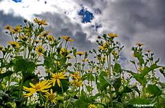 Natur-Blumenfeld (garzer06) Tags: wolken gelb naturphotography deutschland mecklenburgvorpommern naturfotografie grün blau inselrügen naturphoto insel naturfoto rügen