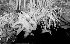 Pond Plants  IR (Neal3K) Tags: ir infraredcamera kolarivisionmodifiedcamera henrycountyga georgia bw blackandwhite