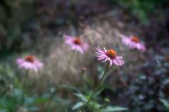 echinacea (zip po) Tags: echinacea mullingar ireland flower summer garden plant afternoon sun showers macro