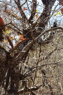 Encyclia incumbens (yellow form) in situ