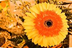 Gerber daisy (Platoesq) Tags: upclose digitalphotography nikonphotography lightroom flowers