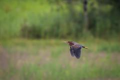 green heron? (jimmy_racoon) Tags: canon 400mm f56l 5d mk2 birds flight bif bird heron nature prime canon400mmf56l canon5dmk2 birdsinflight