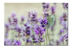_DSC2827 (Des.Nam) Tags: nature papillon butterfly lavande fleur flore faune desnam macro proxy contraste couleur nikon nikond800 d800 105mmf28