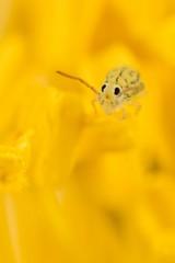 **Yellow Face** - Fasciosminthurus dictyostigmatus (Jerome Picard) Tags: collembola collembole springtails hexapoda mesofauna arthropoda symphypleona fasciosminthurus subglobular