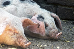 Sleepy piglets (Gill Stafford) Tags: gillstafford gillys england merseyside liverpool croxteth hall park farm piglet sleep