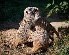Retrouvailles (rondoudou87) Tags: suricate meerkat pentax k1 parc park parcdureynou zoo reynou nature natur wildlife wild smcpda300mmf40edifsdm sauvage mignon cute kawai kawaii friend