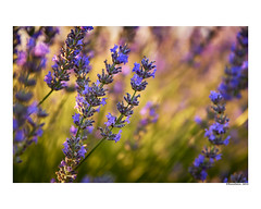 (david Ramalleira) Tags: davidramalleiraphotography davidramalleira nature naturaleza natureart naturephotography naturesfinest naturesart natura primavera spring plantas plant plants lavanda