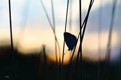 Aube...... (aracobis) Tags: hélios44m4 canon7d papillon parcnatureldelorraine azuré lépidoptère aube matin crépuscule aout2018