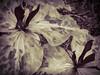 Wonderland (Colormaniac too - Many thanks for your visits!) Tags: trillium trilliumkurabayashii spring perennial nativeplant nature wonderland monochrome chocolatetrillium macro closeup sequim olympicpeninsula washingtonstate pacificnorthwest topazstudio blackwhite netartll giantpurplewakerobin hss