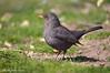 Merlo _014 (Rolando CRINITI) Tags: merlo uccelli uccello birds ornitologia torredellago torredellagopuccini toscana natura
