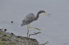 _J3A0841 7D Mark ll Tamron 150-600mm G2 Tricolored Heron (greaves_russell) Tags: bigmorongocanyonpreserve boxcanyonrd nature animals fitness travel sprint overstock people music flickr dancingwiththestars games oops bing foxnews espn cars target bestbut bolsachicawetlands wildlife jobs locations typesofclothing professions days hours minutes dog cat fish bird cow moon world earth forest sky plant wind flower amazon ocean river mountain rain snow tree sanjoaquin anzaborrego huntingtonbeach disneyland knottsberryfarm sandiego forsterstern landscapewhitewater civilwarreenactment