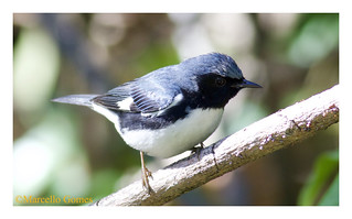 Black-throated Blue Warbler (Setophaga caerulescens) BTBW - From the Caribbean to Canada with a stopover in Florida (best seen large)