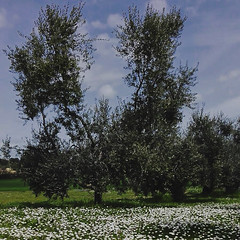 Uliveto Poldo (Olio Poldo - Olio Extra Vergine di Oliva) Tags: oliopoldo poldo cucinaconpoldo olioextraverginedioliva oliveoil extravirginoliveoil evo olivenol nativesolivenol uliveto olives olivetree grove olivegrove primavera spring
