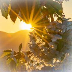 Kirschblüte im Sonnenuntergang (WiSch | Foto) Tags: spezies wischfoto 05jahreszeit orte fotoclub kirschbaum frühling licht abendlicht baum 10pflanze kirschblüte jahreszeit blühen pfalz blüte meckenheim gegenlicht april rheinlandpfalz deutschland de