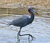 F_042218j (Eric C. Reuter) Tags: birds birding nature wildlife nj forsythe refuge nwr oceanville brigantine april 2018 042218