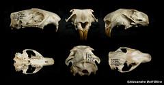 Marmotte (achrntatrps) Tags: crânes skulls bones os animals nikkor d800 pce45mmf28 alexandredellolivo suisse lachauxdefonds lycéeblaisecendrars collection sb900 sb800 achrntatrps achrnt atrps photographe photographer flash