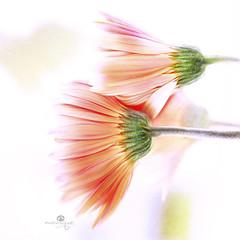 fade to white (rockinmonique) Tags: flora flower bloom blossom petal daisy highkey orange pink yellow green texture macro bokeh moniquewphotography canon canont6s tamron tamron45mm copyright2018moniquewphotography